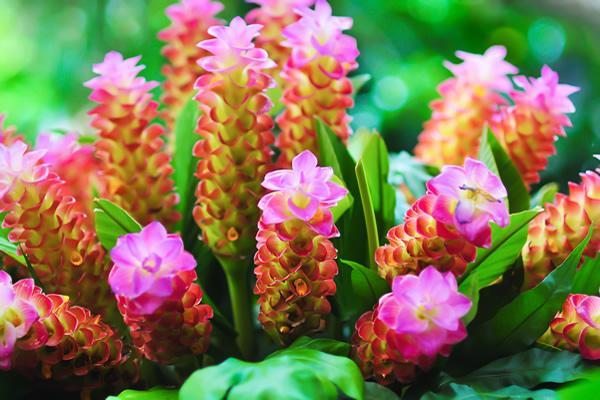 fiore della curcuma perché la curcuma non è solo radice