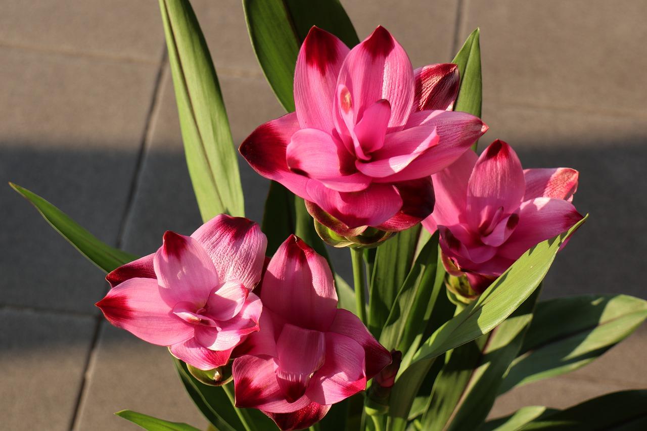 La curcuma non è solo radice ha dei fiori stupendi